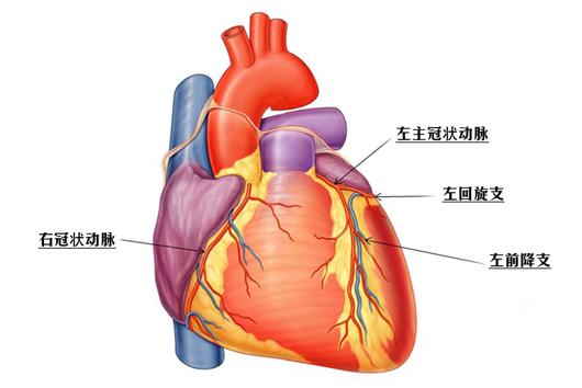 心脏血管前降支_柏康心脏中心 - 健康资讯 - 心脏结构 - 冠状动脉